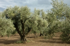 olive_harvesting