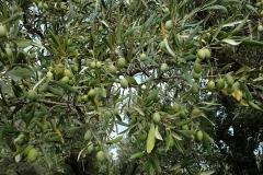 olive_harvesting_tree2