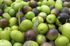 virgin_oil_Olives-harvest-